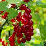 Sadnja i uzgoj ribizle – sok od ribizle lekovitost