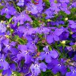 Lobelija biljka cveće održavanje prodaja i lekovitost