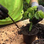 Razmnožavanje biljaka reznicama – hormon za ožiljavanje reznica