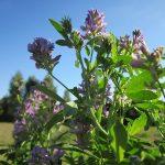Lucerka detelina najznačajnija stočna hrana i lekovita biljka