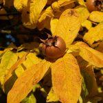 Mušmula voće uzgoj kako se koristi kao lek