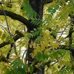 Crni orah sadnice uzgoj upotreba isplativost lekovita svojstva