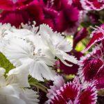 Turski karanfil cveće sadnja uzgoj u saksiji