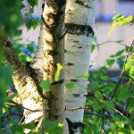 Drvo breza upotreba – čaj šećer i sok od breze