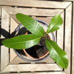 Kako posaditi i jesti mango voće