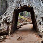 Najviše, najšire, najstarije i najveće drvo na svetu