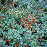 Zimzelena gaulterija (Gaultheria procumbens) – Wintergreen ulje od zimzelena
