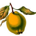 Kako se pravi rakija od dunja – dunjevača – sorte, pečenje, isplativost