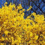 Ukrasno grmlje i šiblje | koje se orezuje | lepo cveta | ima bobice | zimzeleno