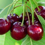 Najbolje sorte trešanja i oprašivači– regina, burlat, kordia, karmen…