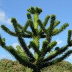 Čileanski bor araukarija (Araucaria araucana)