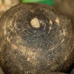 Crna rotkva uzgoj salata sok med kao lek i recepti