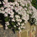Iberis cveće vrste nega razmnožavanje i medicinska upotreba