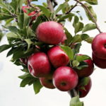 Program zaštite jabuke, bolesti i štetočine