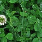 Bela detelina setva uzgoj upotreba i lekovitost