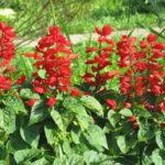 Salvija cveće (ukrasna žalfija) – sadnja nega razmnožavanje cena