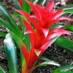 Bromelija biljka koja zaustavlja hrkanje
