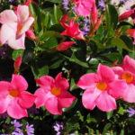 Mandevila, dipladenija ili brazilski jasmin biljka penjačica