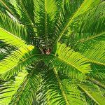 Palma kanarska urma karakteristike održavanje i razmnožavanje