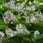 Katalpa drvo, cigaraš (Catalpa bignonioides) sadnja uzgoj cena