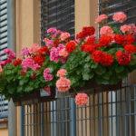 Povidon jod za cvetanje muškatle i paradajza kao prihrana