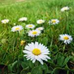 Bela rada cveće (Bellis perennis) – ukrasna, jestiva i lekovita biljka