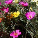 Prkos cveće u saksiji i bašti – setva, nega, održavanje, razmnožavanje