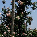 Ruže penjačice puzavice sadnja uzgoj oslonac orezivanje