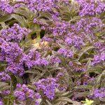 Vanilin žbun cveće – baštenski heliotrop (Heliotropium arborescens )