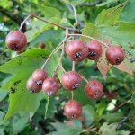 Brekinja drvo, voće i čaj od brekinje priprema