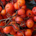 Mukinja ili jarebika drvo plod lekovitost slike