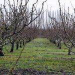 Radovi u voćnjaku i vinogradu posle berbe – jesenji i zimski