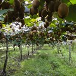Saveti za uzgoj kivija