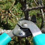 Zimska rezidba šljiva – kako orezati šljive