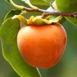 Japanska jabuka kaki uzgoj sadnice iz semena