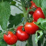 Lekovita svojstva paradajza