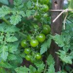 Vezivanje paradajza i kidanje zaperaka
