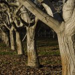 Rezidba oraha – kako orezati orah