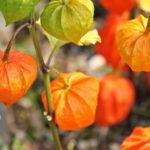 Fizalis ili peruanska jagoda uzgoj rasad cena gde kupiti