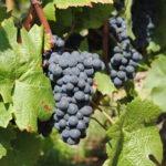 Oštećenja na vinovoj lozi usled visokih temperatura i grada