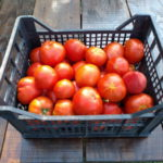 Berba paradajza iz ekološke proizvodnje
