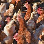 Koliko je dobro kokošije đubrivo za biljke
