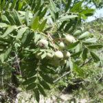Oskoruša voće – nekad ukras seoskih imanja a danas prava retkost