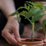 Šta je pikiranje paradajza i kako se izvodi